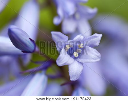 Macro shot of Hybrid Bluebell blossom