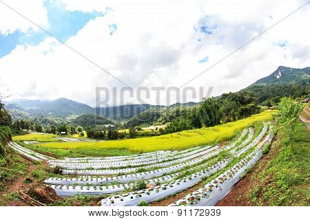 Paddy Green  Rice Fields