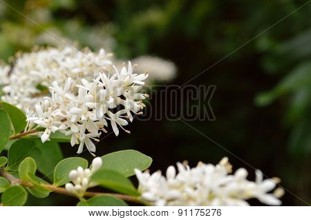 Privet Bush Blooms Against Dark Green Background