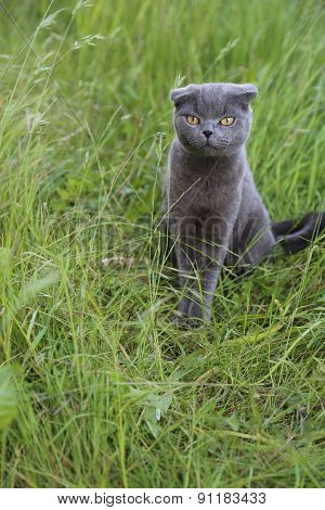 Scottish Fold Kitten On Green Meadow.