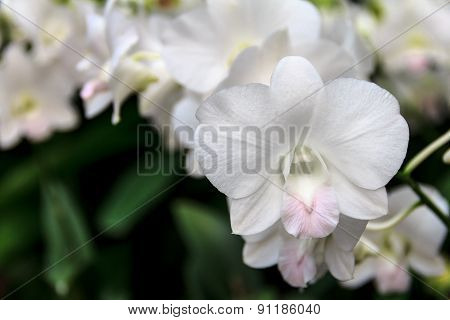 Delicate White And Pink Orchid