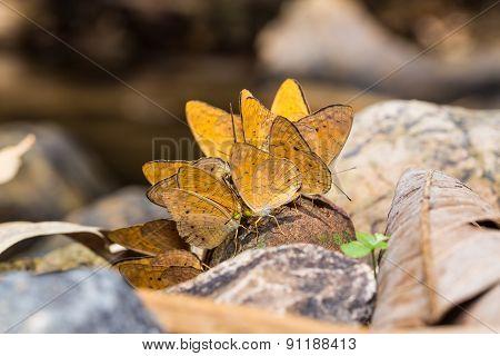Small Leopard Butterflies