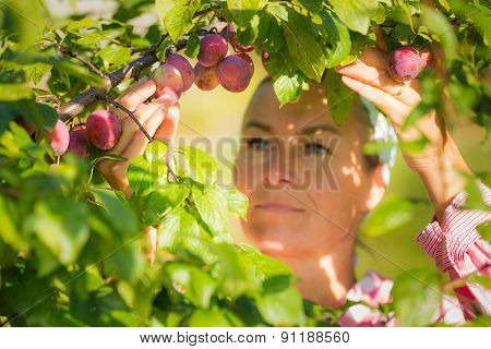 Woman Picking Plums From A Tree