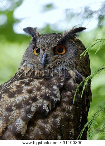 The Portrait Of  Eagle Owl (bubo Bubo)