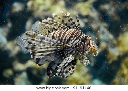 Portrait of lionfish