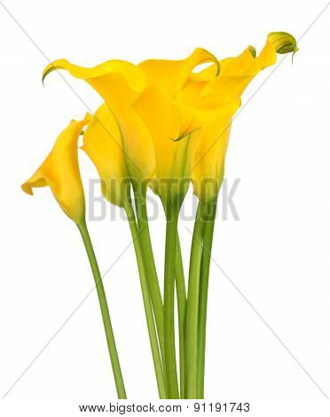 Bunch of callas on white background