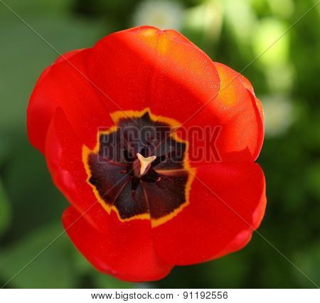 Close-up Spring Flower Tulip, Carpel And Stamen With Pollen