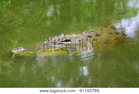 Crocodile Under The Water