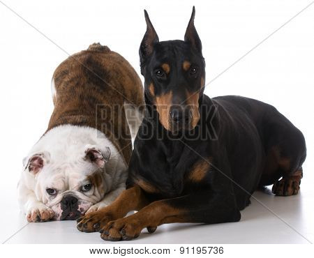 two dogs - bulldog and doberman together on white background