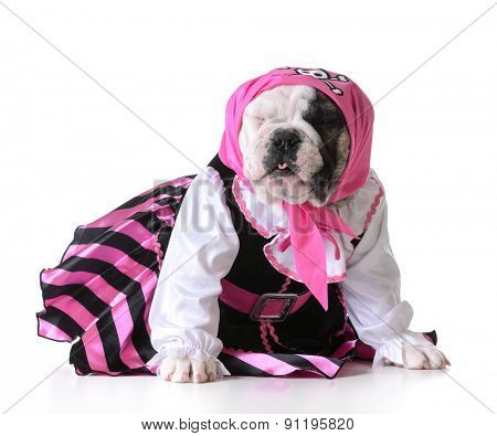 dog dressed up like a pirate on white background - bulldog female
