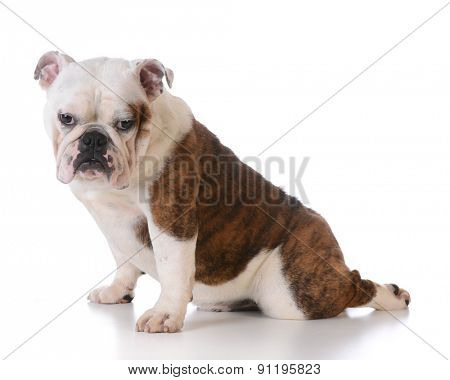 cute bulldog puppy sitting with back leg stretched out behind on white background