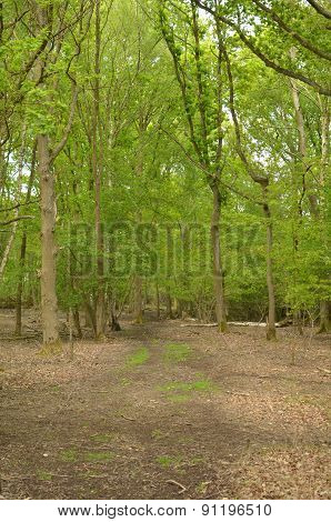 Woodland glade in rural England.