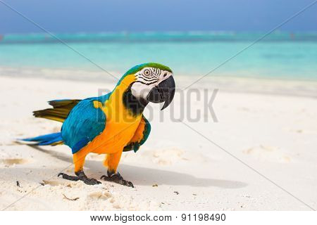 Cute bright colorful parrot on the white sand in the Maldives