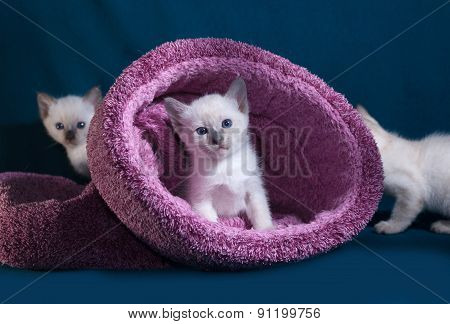 Thai White Kittens In Nest On Blue