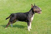 pic of bulls  - The portrait of Miniature Bull Terrier in the garden - JPG