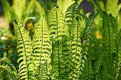 foto of fern  - Young fern plants with back sunlight - JPG
