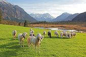 picture of bavarian alps  - idyllic bavarian scenery with grazing sheeps bogland and the alps - JPG