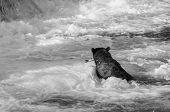 image of bear  - Brown bear on Alaska - JPG