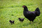 foto of copper  - Free range chickens and chicks - JPG