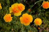 image of angiosperms  - Eschscholzia californica also known as California poppy - JPG