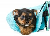 picture of yorkshire terrier  - Small Yorkshire Terrier sitting in a beach hat isolated on white background - JPG