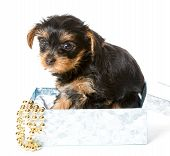 image of yorkshire terrier  - Little Yorkshire Terrier puppy in gift box isolated on white background - JPG
