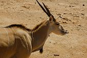 pic of antelope horn  - Picture of antelope in the safari zoo - JPG