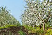picture of orchard  - Blooming apple orchard at sunset in May evening - JPG