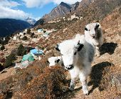 foto of yaks  - young yaks and Portse village  - JPG