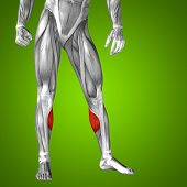 pic of human muscle  - Concept or conceptual 3D gastrocnemius human lower leg anatomy or anatomical and muscle on green gradient background - JPG