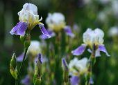 pic of purple iris  - Close - JPG