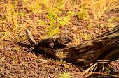 stock photo of lizards  - El Hierro Typical Lizard Tizon Gallotia Simonyi Canary Island - JPG