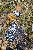 picture of pheasant  - excludes of caught pheasant - JPG