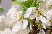 image of thalamus  - Mayflower flower - JPG