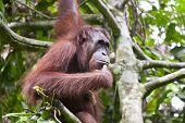 stock photo of orangutan  - Orangutan thinking on a tree in Malaysia - JPG
