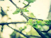 picture of apple tree  - Vintage photo of apple tree blooming in springtime - JPG