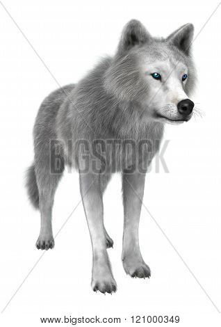 Polar Wolf On White