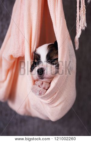 Puppy on a gray background