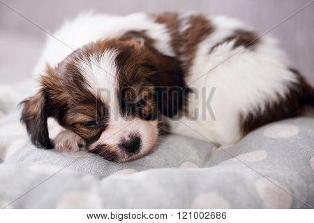 One puppy sleep