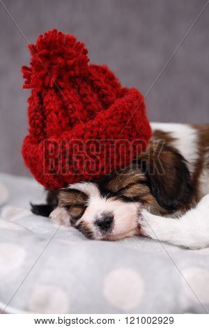 puppy Papillon in hat