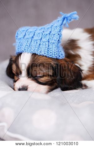 puppy in a blue knitted hat