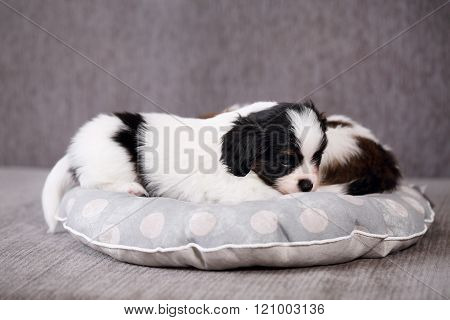 puppies on a gray background