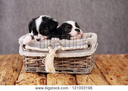 puppies in a wicker basket