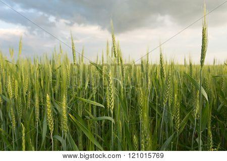 Green wheat under dramatic sky