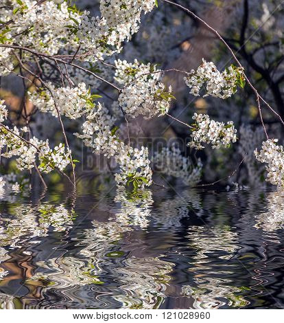 Apricot tree flower with buds blooming at sptingtime and water reflection, vintage retro floral back