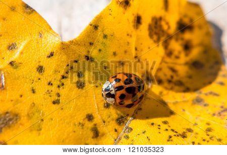 Ladybird On Yellow Leaf