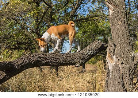 Basenji strolling on a broken tree branch in search of food at sunny day