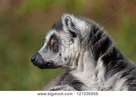 Lemur Detail