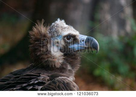 Balt Vulture