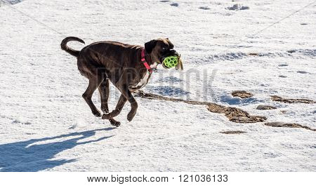 Boxer dog running in snow Holding a toy
